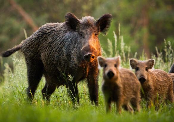 A small sounder of Irish wild boar